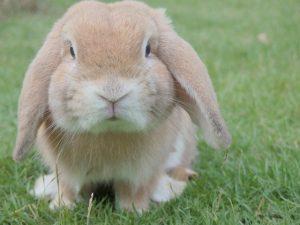 blonde bunny